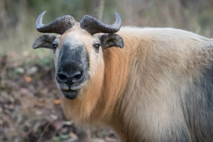 takin the national animal in bhutan tours from india